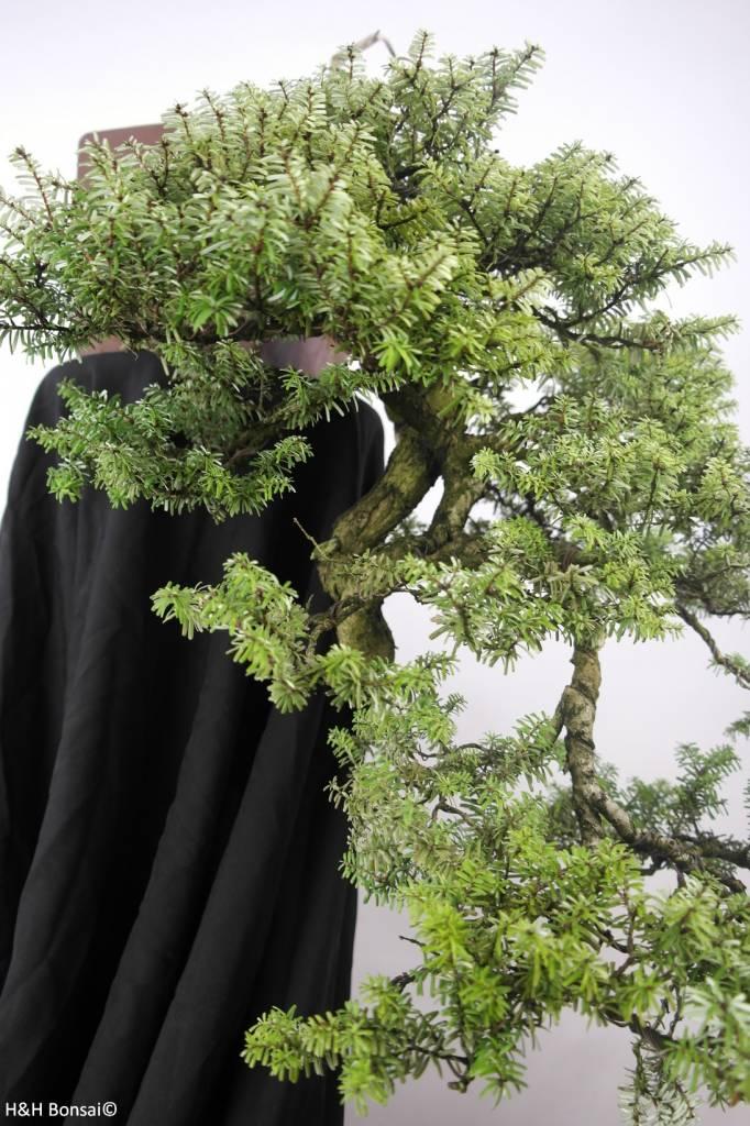 Bonsai Northern Japanese Hemlock, Tsuga diversifolia, no. 5239