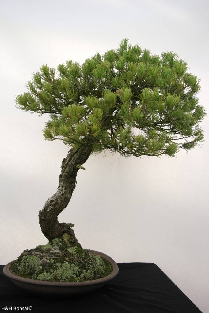 Bonsai White pine, Pinus parviflora, no. 5258