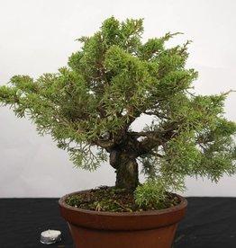 Bonsai Ginepro cinese itoigawa, Juniperus chinensis itoigawa, no. 5275