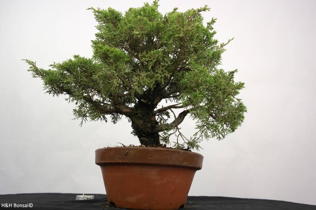 Bonsai Chinese Juniper, Juniperus chinensis itoigawa, no. 5275