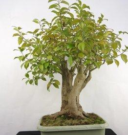 Bonsai Camellia japonica, no. 5279