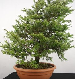 Bonsai Tsuga diversifolia, no. 5281