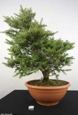Bonsai Northern Japanese Hemlock, Tsuga diversifolia, no. 5281