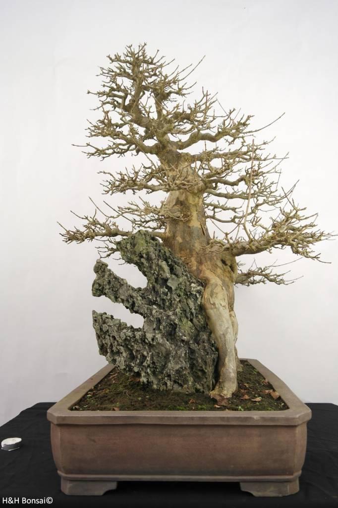 Bonsai Trident maple, Acer buergerianum, no. 5286