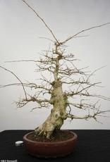 Bonsai Korean Hornbeam, Carpinus coreana, no. 5227