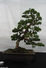 Bonsai Chinese Juniper, Juniperus chinensis, no. 5495