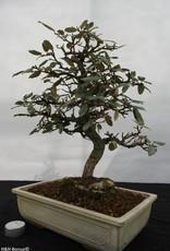 Bonsai Elaeagnus, no. 5524