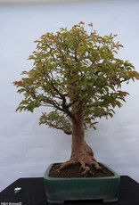 Bonsai Stewartia, no. 5118