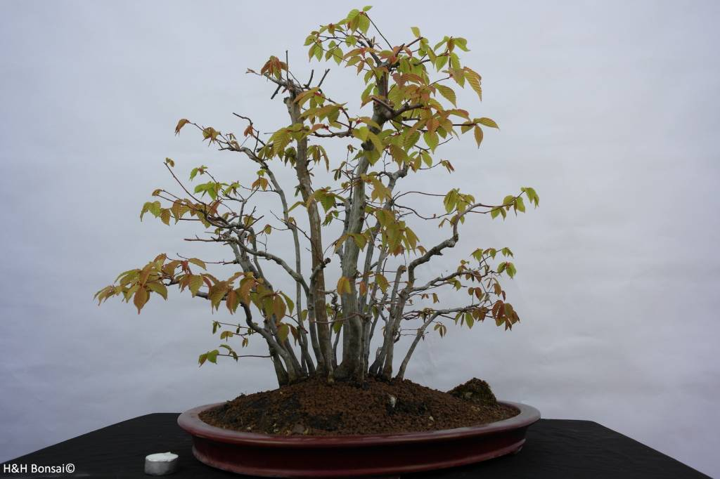 Bonsai Beech sp., group, no. 5574