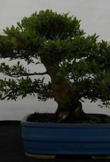 Bonsai Azalea Satsuki Juko no Homare, no. 5244