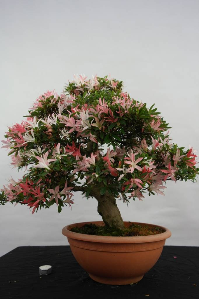 Bonsai Azalea Satsuki, no. 5344
