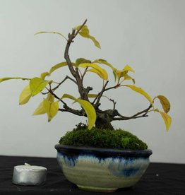Bonsai Shohin Crabapple, Malus sp., no. 5421