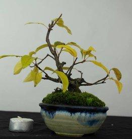 Bonsai Shohin Melo sp., Malus sp., no. 5421