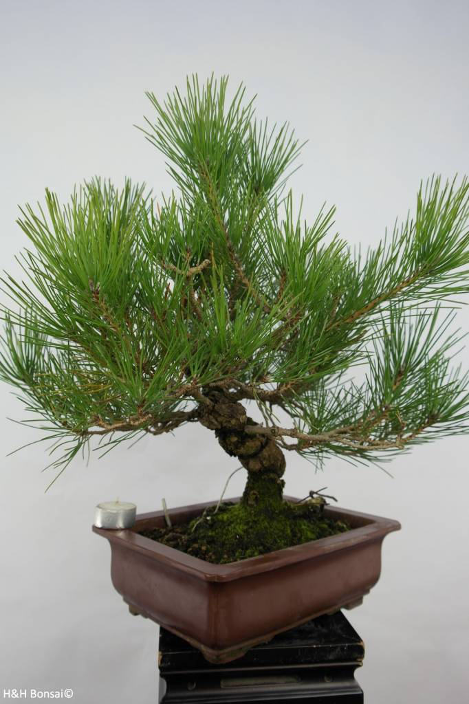 Bonsai Japanese Black Pine, Pinus thunbergii, no. 5722