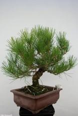 Bonsai Japanese Black Pine, Pinus thunbergii, no. 5722