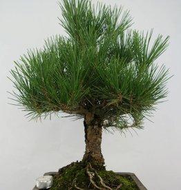 Bonsai Pino nero, Pinus thunbergii, no. 5724