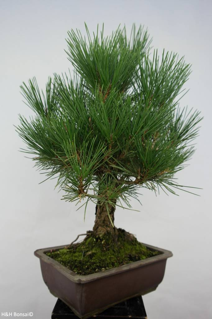 Bonsai Japanese Black Pine, Pinus thunbergii, no. 5724