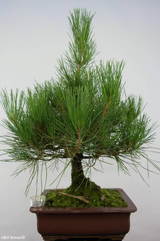 Bonsai Japanese Black Pine, Pinus thunbergii, no. 5725