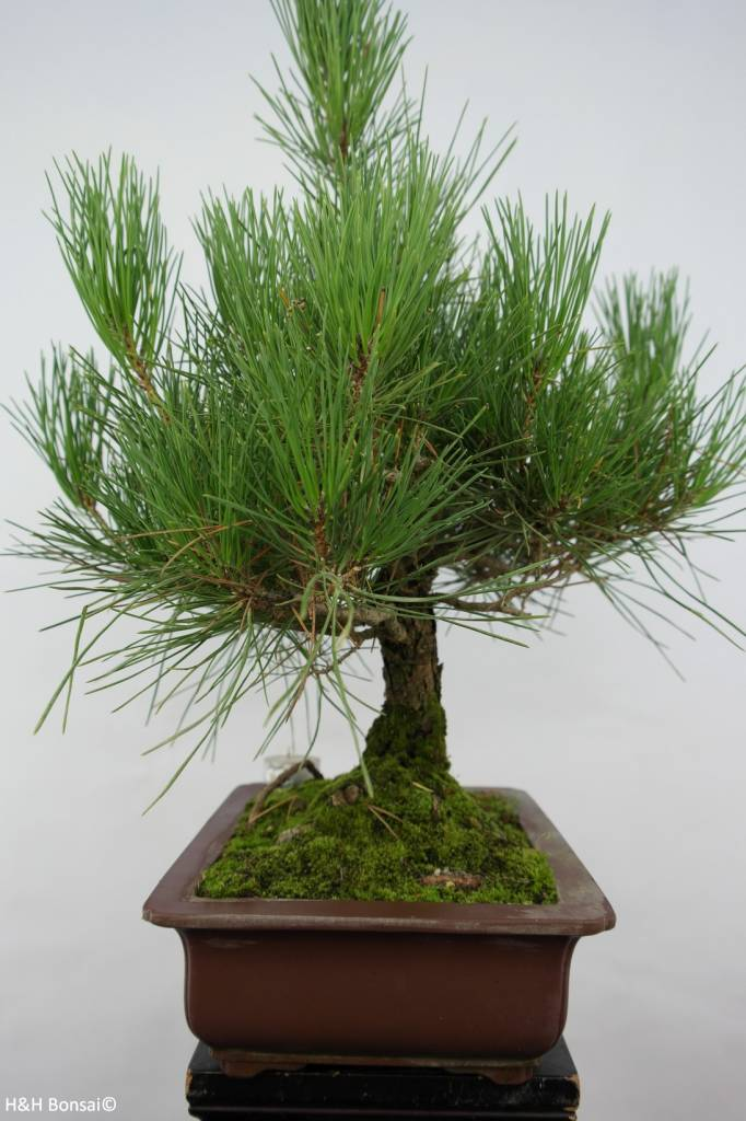 Bonsai Japanese Black Pine, Pinus thunbergii, no. 5725