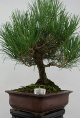 Bonsai Japanese Black Pine, Pinus thunbergii, no. 5726