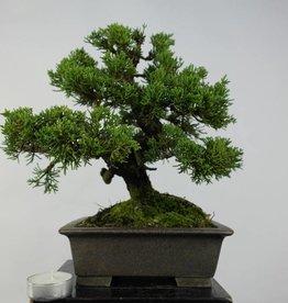 Bonsai Shohin Ginepro cinese, Juniperus chinensis, no. 5735