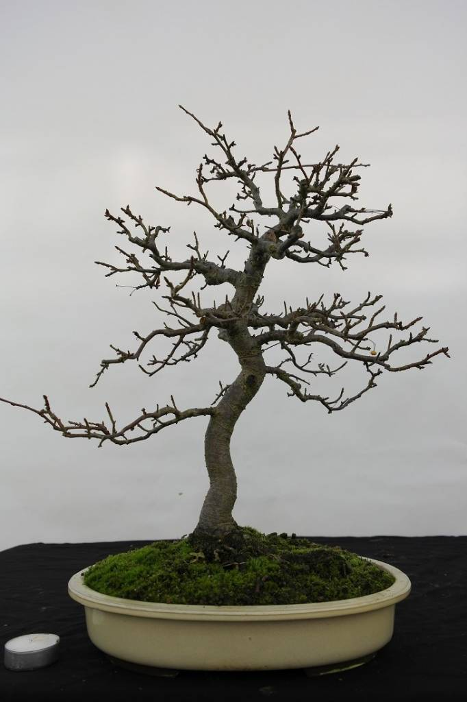 Bonsai Crabapple, Malus zumi, no. 5533