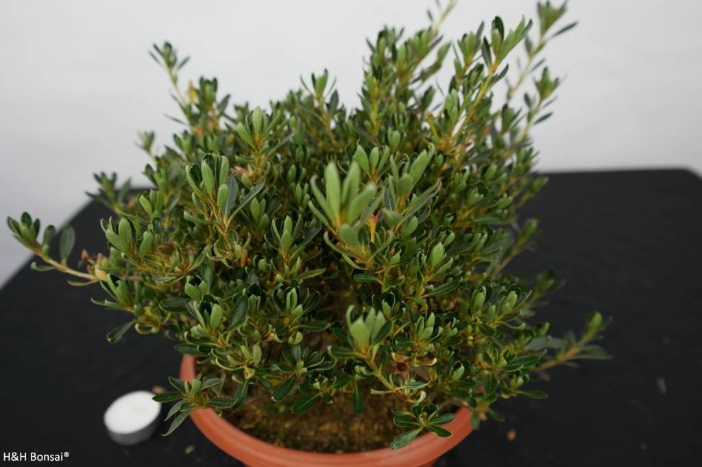 Bonsai Azalea SatsukiShinzan, no. 5749