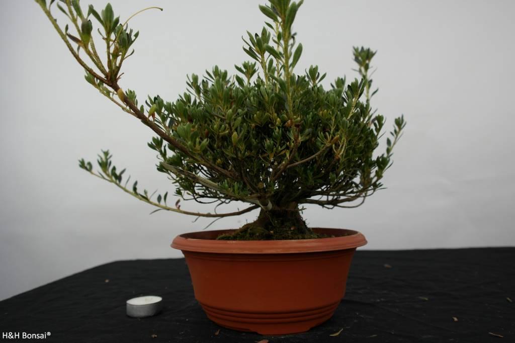 Bonsai Azalea SatsukiShinzan, no. 5751