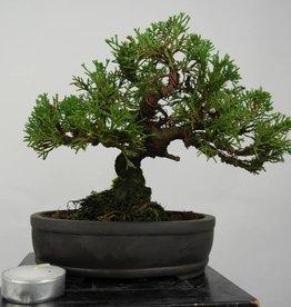 Bonsai Shohin Ginepro cinese, Juniperus chinensis, no. 5800