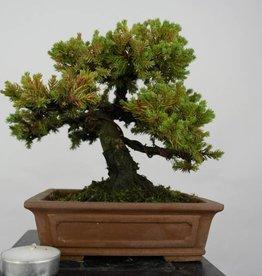 Bonsai Shohin Needle Juniper, Juniperus regida, no. 5801