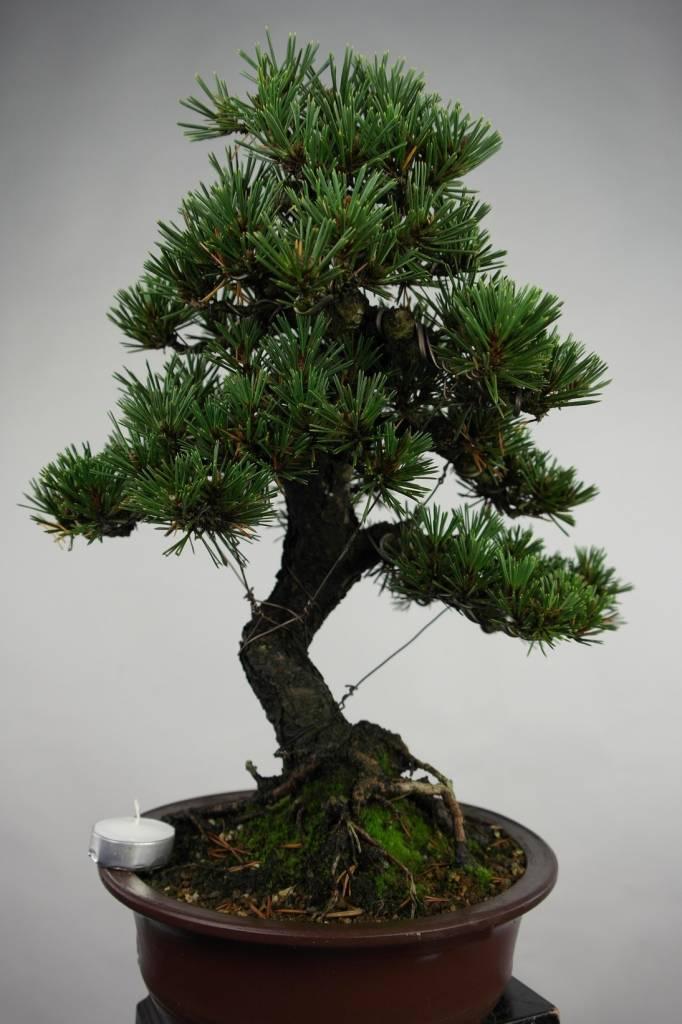 Bonsai Pino nero kotobuki, Pinus thunbergii kotobuki, no. 5496