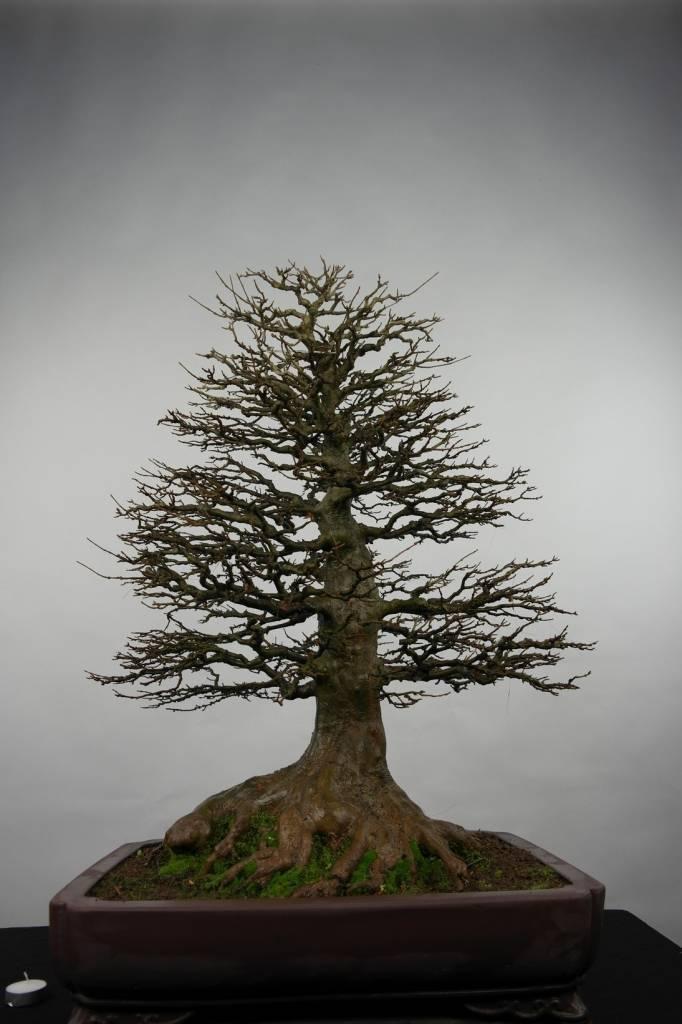 Bonsai acero tridente acer buergerianum no 5522 www for Acero bonsai vendita
