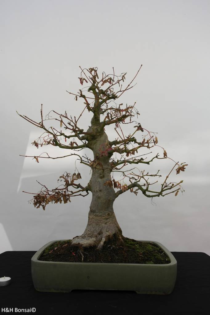 Bonsai acero palmato acer palmatum no 5805 www for Acero bonsai vendita