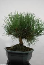 Bonsai Japanese Black Pine, Pinus thunbergii, no. 5820