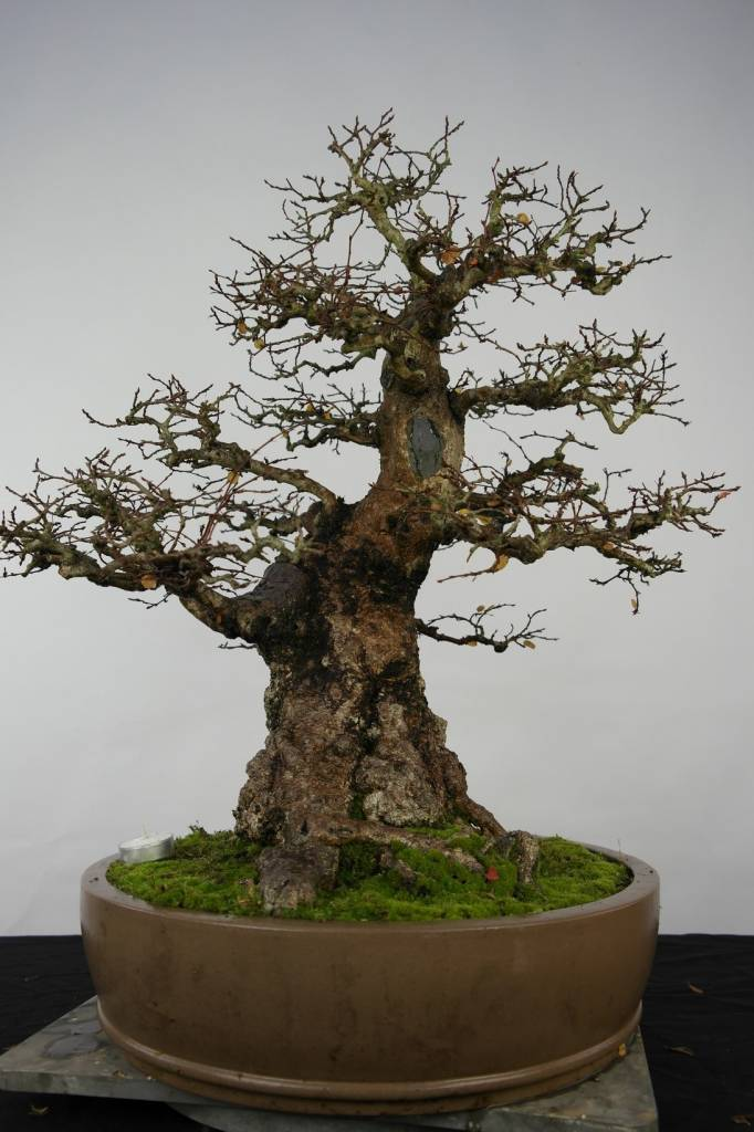 Bonsai Korean Hornbeam, Carpinus coreana, no. 5229