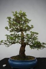 Bonsai Azalea Satsuki, no. 5673