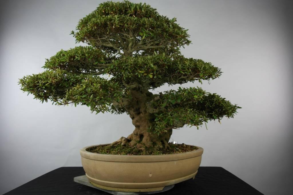 Bonsai Azalea Satsuki Kozan, no. 5202