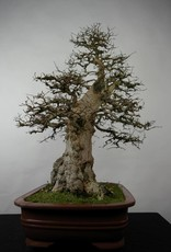 Bonsai Korean Hornbeam, Carpinus coreana, no. 5183