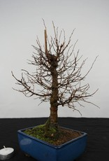 Bonsai Zelkova serrata, no. 5563