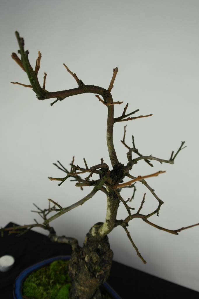 Bonsai Diospyros kaki, no. 4531