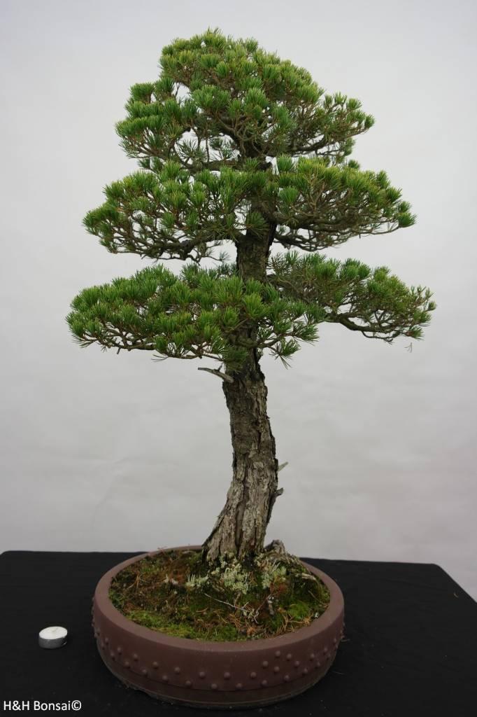 Bonsai White pine kokonoe, Pinus parviflora kokonoe, no. 5839