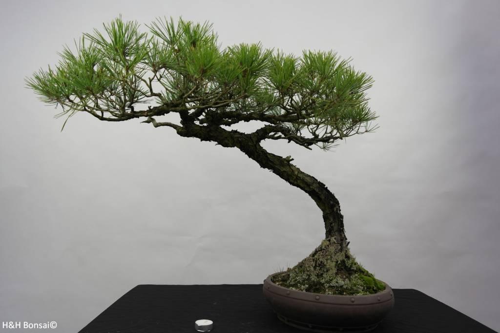 Bonsai Japanese Red Pine, Pinus densiflora, no. 5840