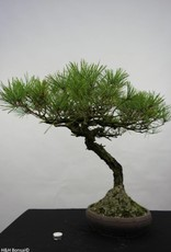 Bonsai Japanese Red Pine, Pinus densiflora, no. 5840