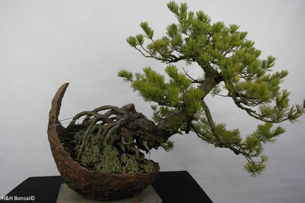 Bonsai Japanese White Pine, Pinus pentaphylla, no. 5841