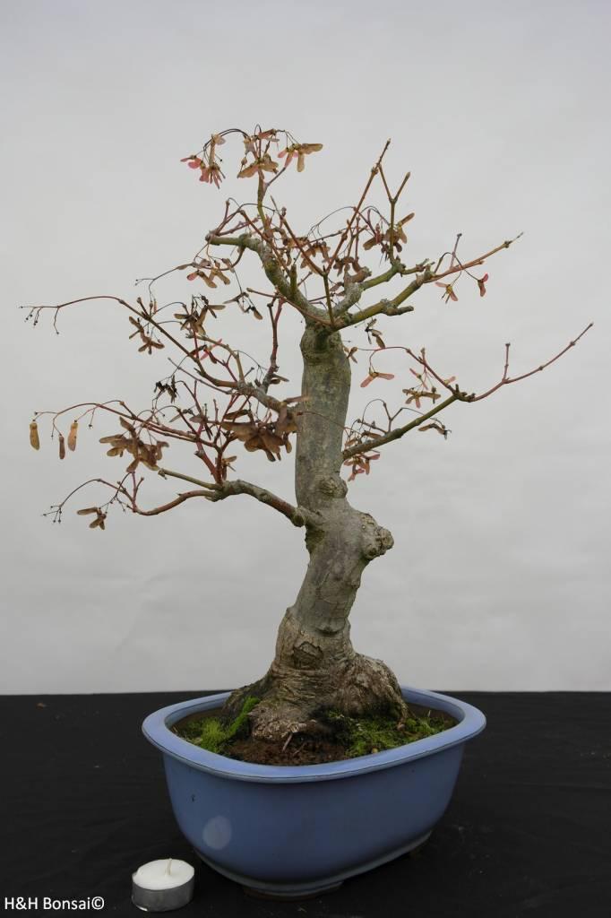 Bonsai Japanese maple, Acer palmatum, no. 5851