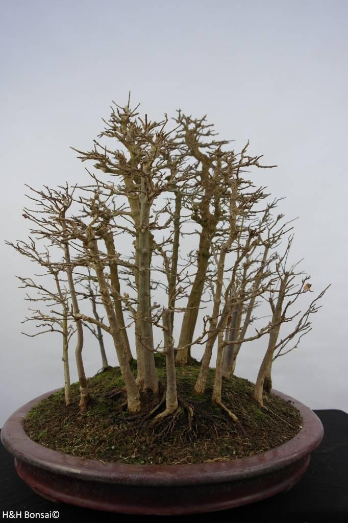 Bonsai acero tridente acer buergerianum no 5852 www for Acero bonsai vendita