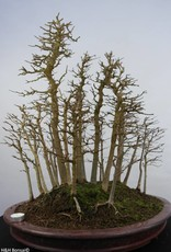 Bonsai Trident maple, Acer buergerianum, no. 5852