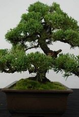 Bonsai Chinese Juniper, Juniperus chinensis, no. 5863