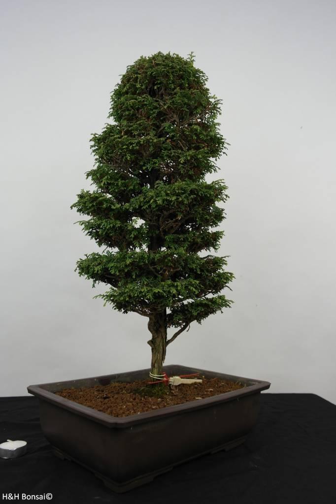 Bonsai Cypress, Chamaecyparis sp. , no. 5897