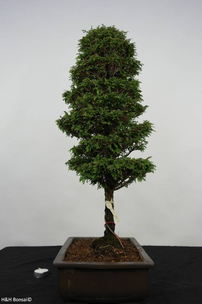 Bonsai Cypress, Chamaecyparis sp. , no. 5898
